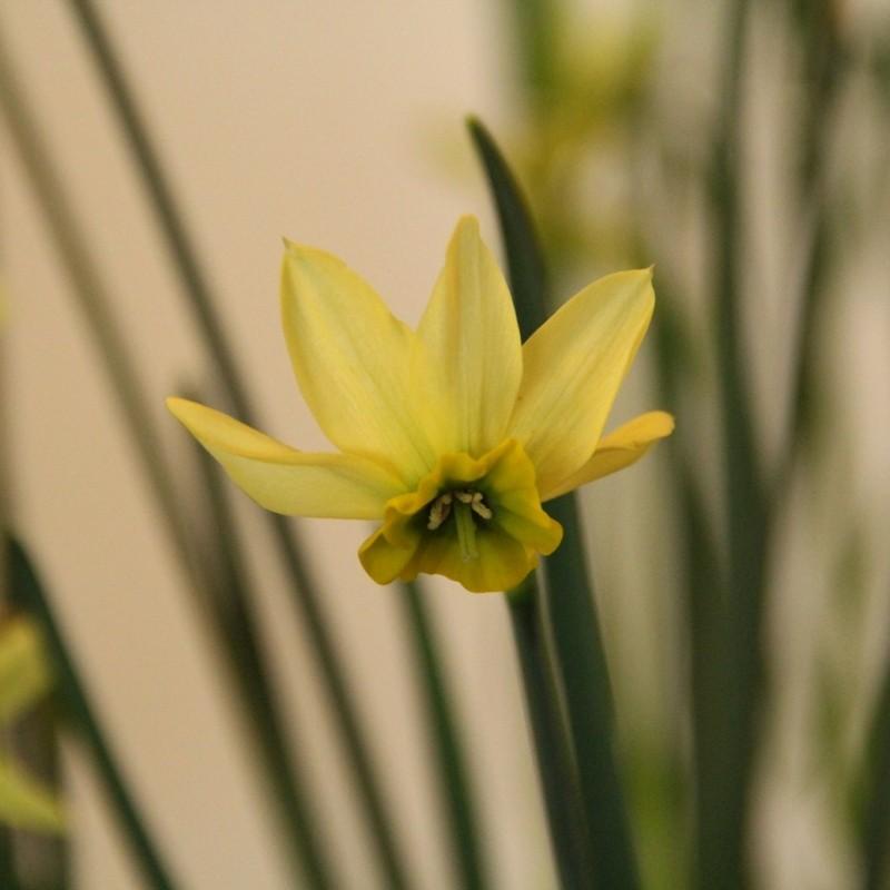 Narcissus viridiflora III