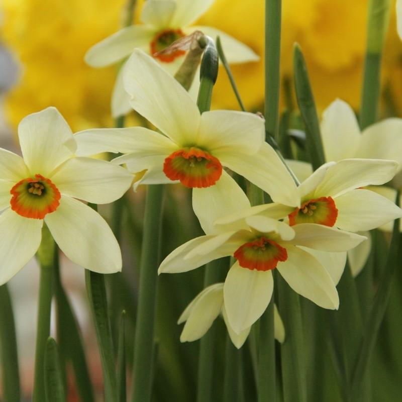 Narcissus viridiflora IV