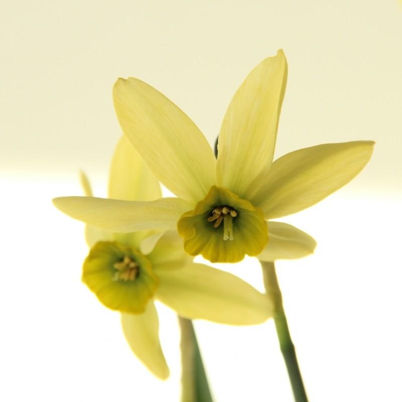 Narcissus viridiflora V