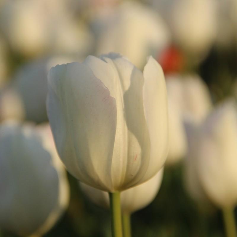 Tulipa 'La Reine Maxima'