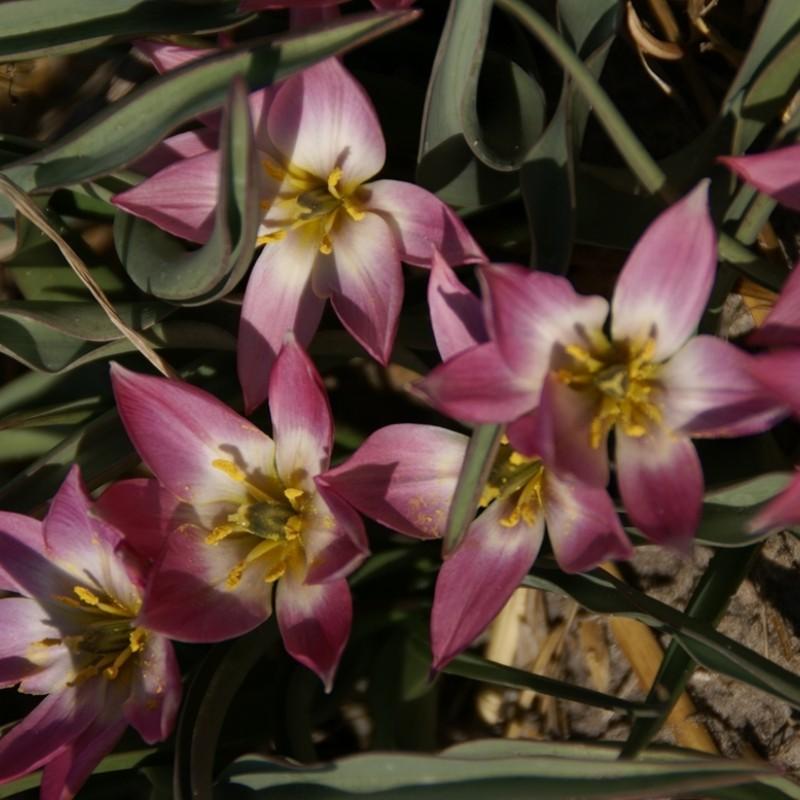 Tulipa aucheriana