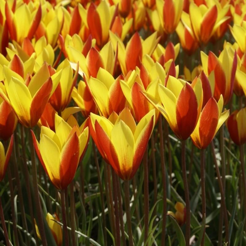 Tulipa clusiana var. chrysantha 'Tubergen's Gem'