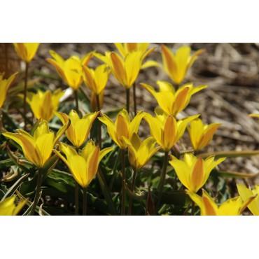 Tulipa iliensis