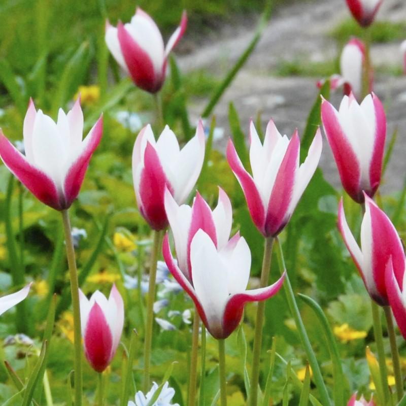 Tulipa 'Peppermintstick'