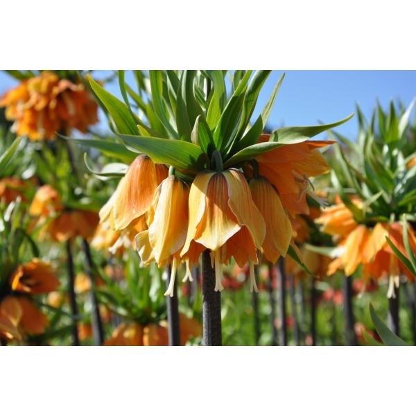 Fritillaria imperialis 'Sulpherino'
