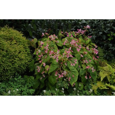 Begonia grandis subsp.sinensis