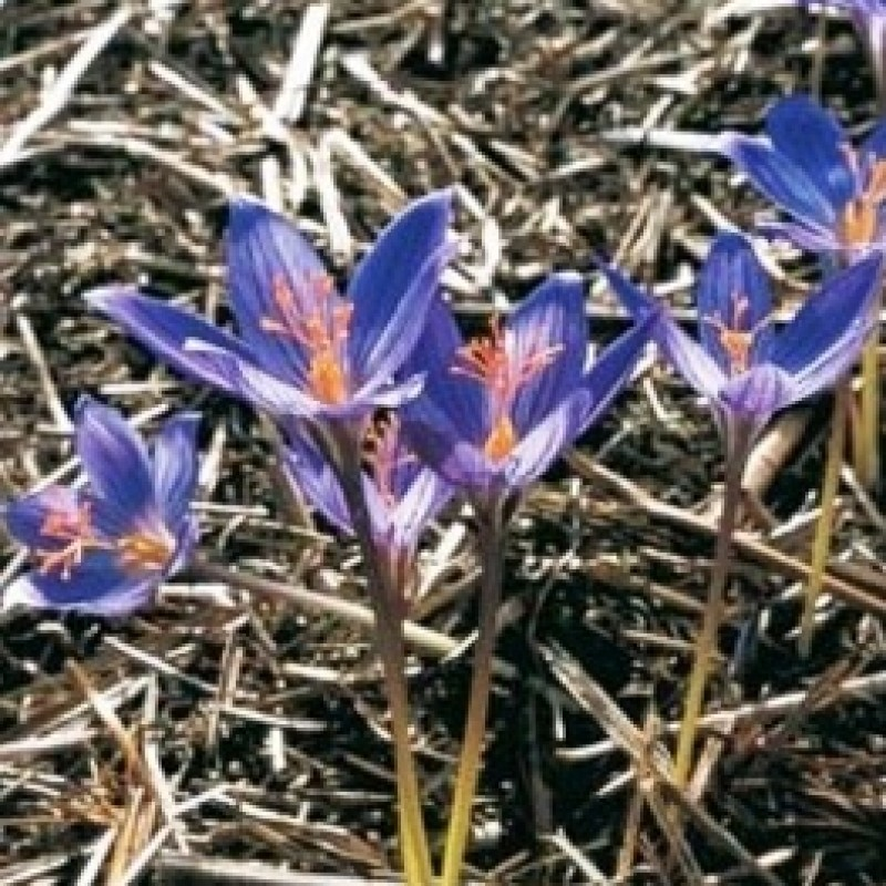 Crocus puringii