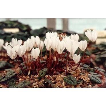 Cyclamen cilicium 'Album'