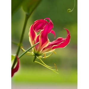 Gloriosa 'Rothschildiana'