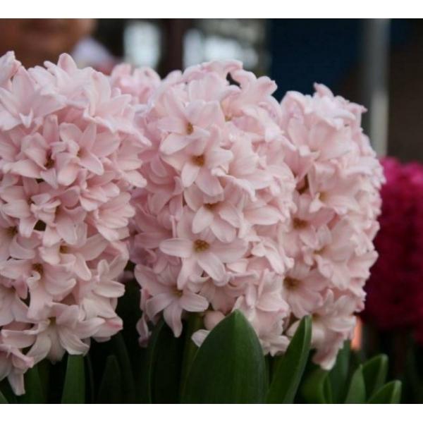 Hyacinthus orientalis 'Pink Elephant'