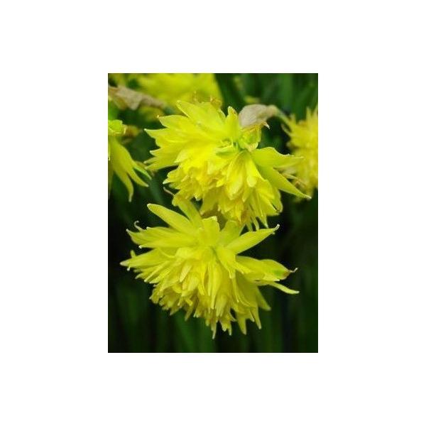 Narcissus 'Rip van Winkle' -grootverbruik-