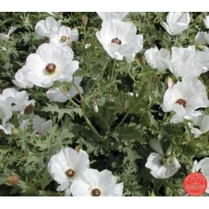 Argemone polyanthemos, Stekelpapaver