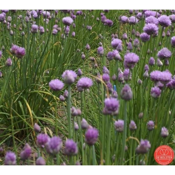 Bieslook fijn, Allium schoenoprasum