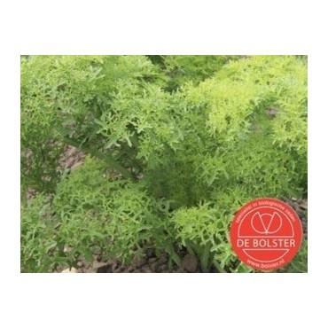 Bladmosterd, Brassica juncea var. rugosa  'Golden Frills'
