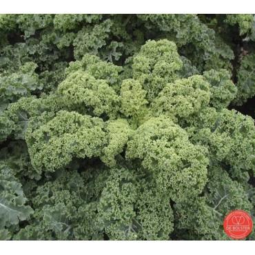 Boerenkool, Brassica oleracea var. laciniata 'Westlandse Winter'