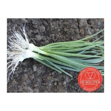 Bosui, Allium cepa 'White Lisbon'