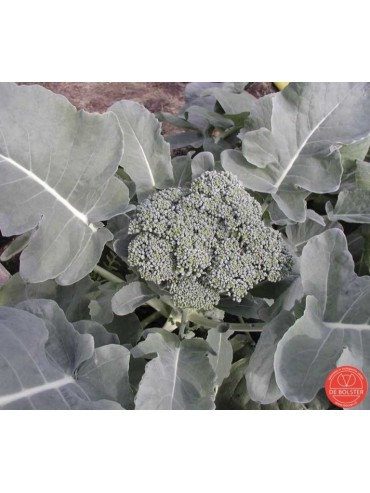 Broccoli, Brassica oleracea var. cymosa 'Groene Calabrese'