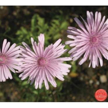 Crepis rubra, Roze streepzaad