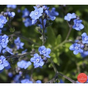 Cynoglossum amabile, Hondstong