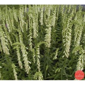 Digitalis grandiflora, Grootbloemig vingerhoedskruid