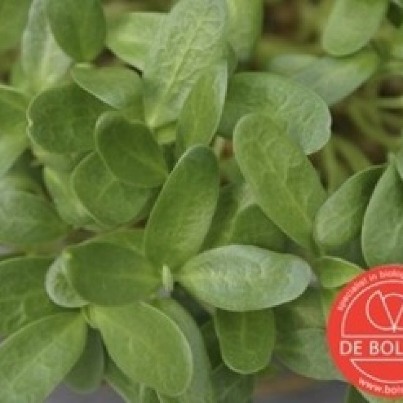Kiemgroente Fenegriek, Trigonella foenum-graecum