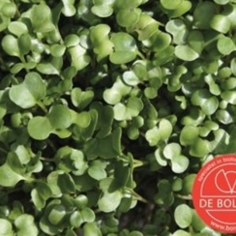 Kiemgroente Rucolakers, Eruca sativa