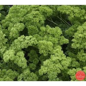 Peterselie, Petroselinum crispum var. crispum 'Moskrul 2´