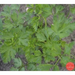 Peterselie, Petroselinum crispum var. naepolitanum 'Gigante d'Italia'