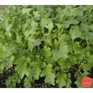 Raapsteel, Brassica rapa subsp. campestris 'Namenia'