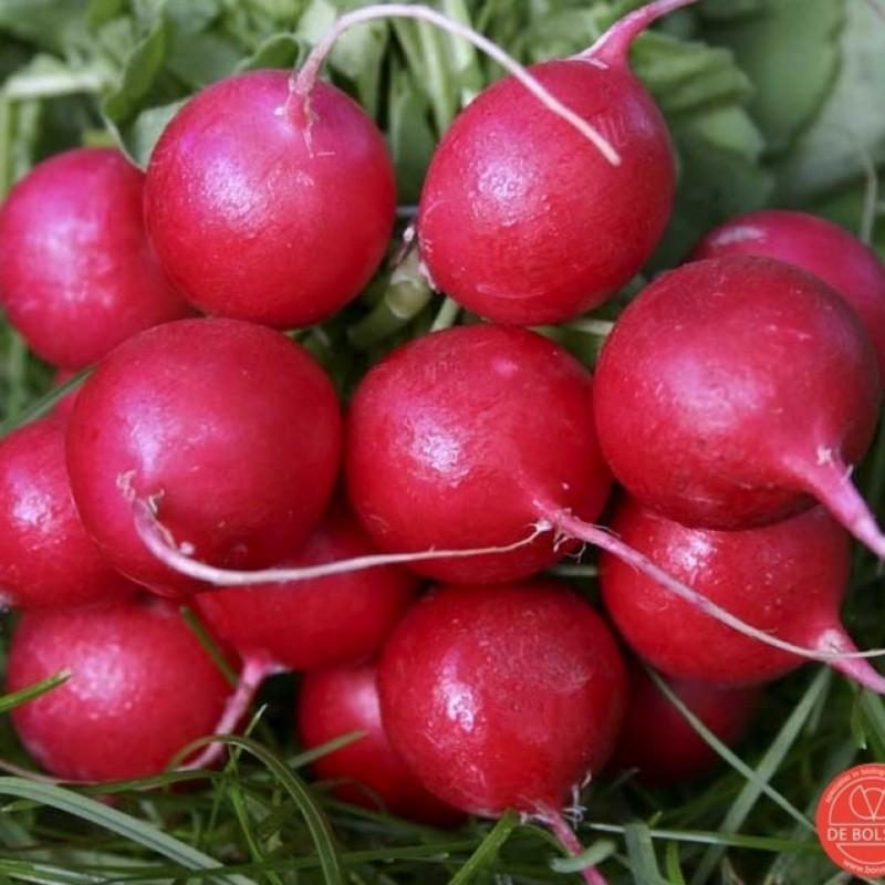 Radijs, Raphanus sativus 'Cherry Belle'