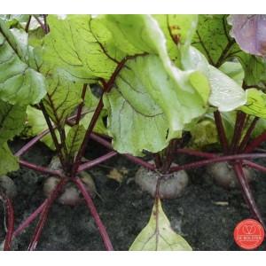 Rode biet, Beta vulgaris var. rubra 'Egyptische platronde'