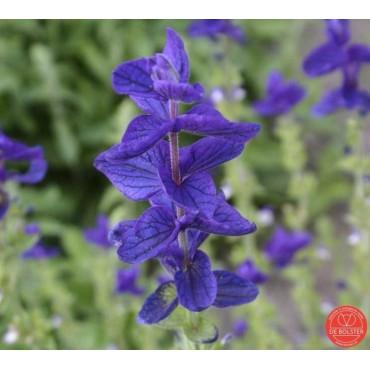 Salvia horminum, Bonte salie paars