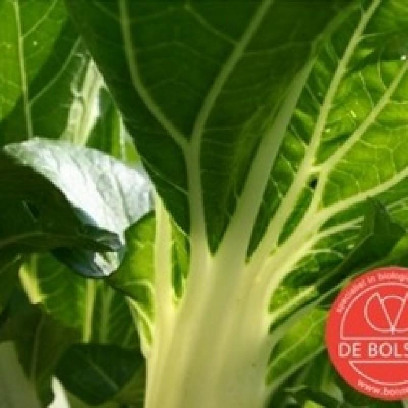 Snijbiet,  Beta vulgaris var. cicla 'Groene Gewone'