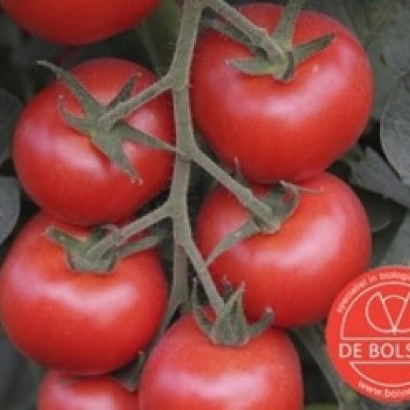 Tomaat, Solanum lycopersicum L.  'Bolstar Granda'