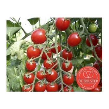 Tomaat, Solanum lycopersicum L. 'Bartelly F1''