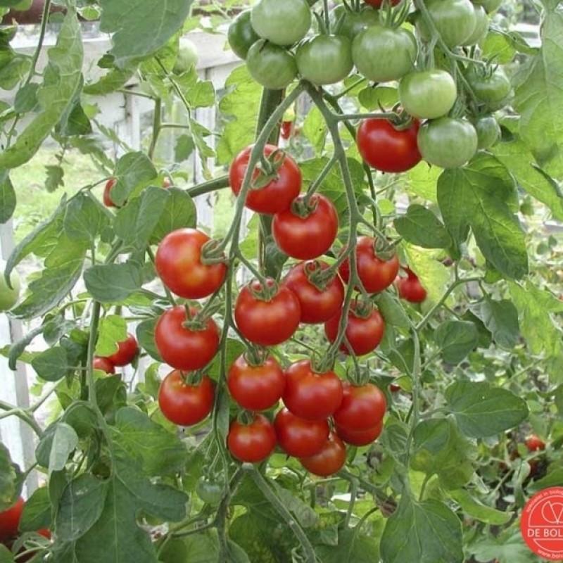 Tomaat, Solanum lycopersicum L. 'Zuckertraube-type '