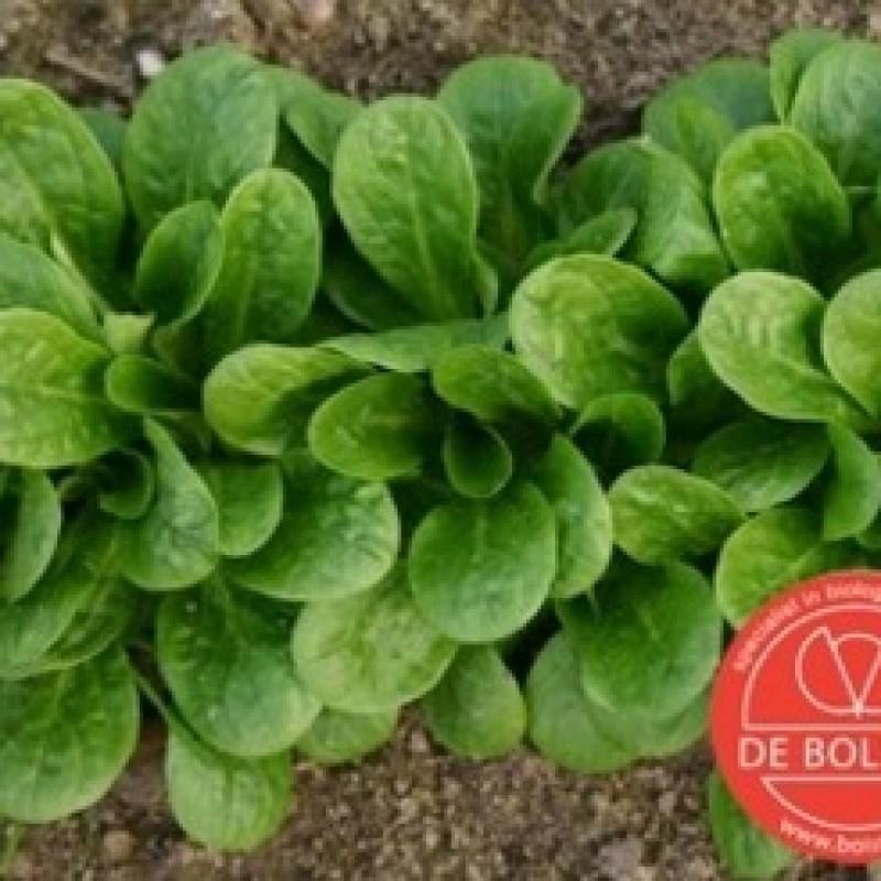 Veldsla, Valerianella locusta 'Vit'