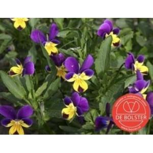 Viola tricolor, Driekleurig viooltje