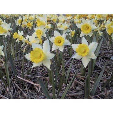 Narcissus 'Little Beauty'