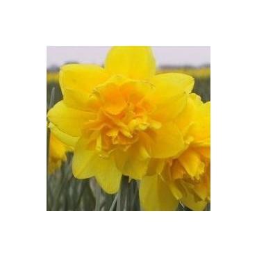 Narcissus 'Pencrebar'