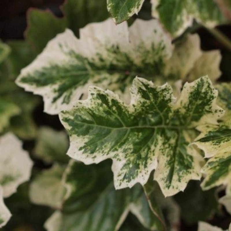 Acanthus 'Whitewater®'