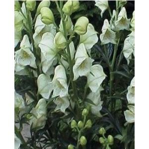 Aconitum napellus 'Schneewitchen'