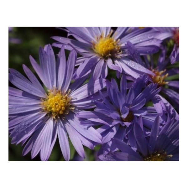 Aster (D) 'Lady in Blue'