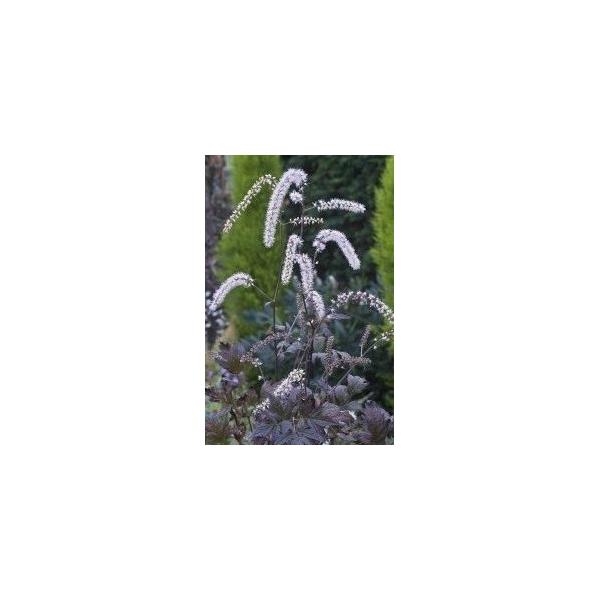 Cimicifuga ramosa 'Queen of Sheba'