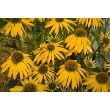 Echinacea 'Summer Breeze'