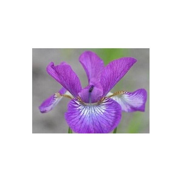 Iris siberica ´Sparkling Rose´