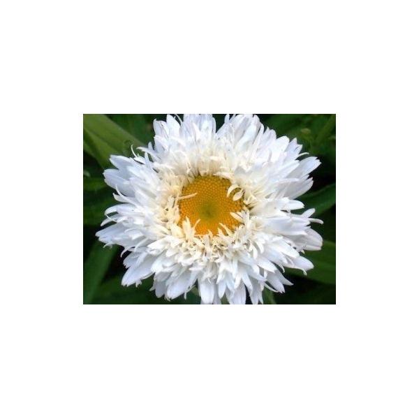 Leucanthemum ´Laspider´