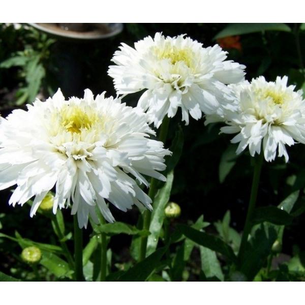 Leucanthemum (S) 'Aglaia'
