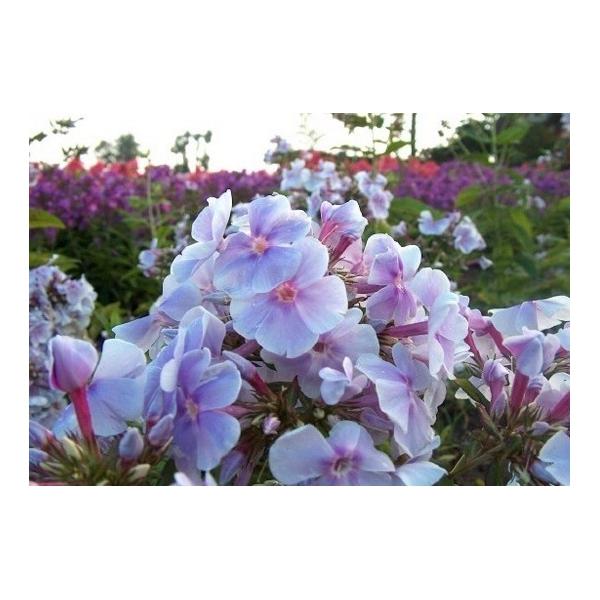 Phlox (P) 'Lavendelwolke'