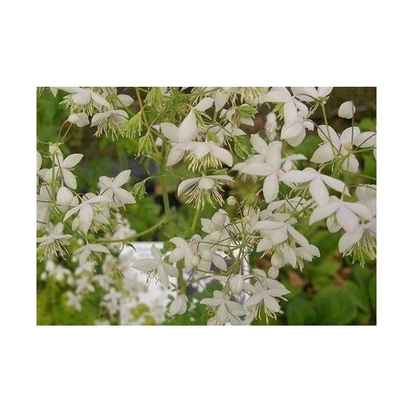 Thalictrum delavayi 'Album'